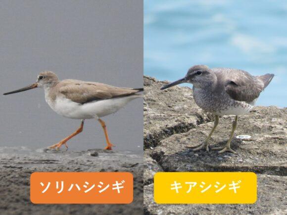 ソリハシシギとキアシシギの違いと見分け方